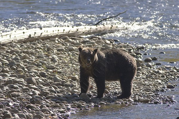 Grizzly bear near Bella Coola