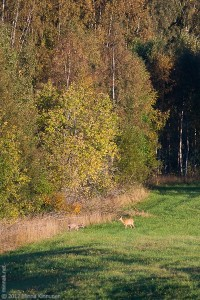 Roe deer in the morning before I went to work