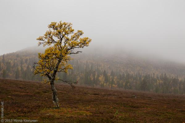 My favourite birch in the rain