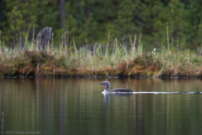 I Hope This Crane Is Just Hiding Other >> Red-throated divers | Minna Kinnunen