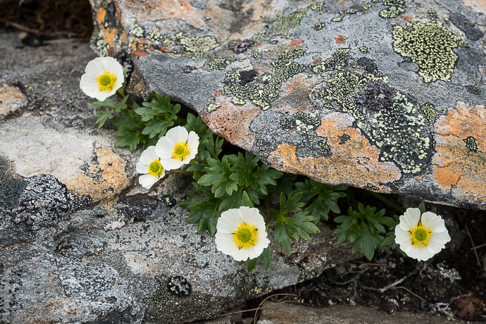 What an amazing flower, the glacier buttercup