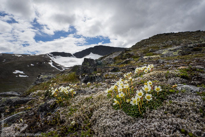 It is botanically very interesting to walk up and down such a high mountain, you can clearly distinguish the vegetation zones. There were no glacier buttercups among the diapensia here.