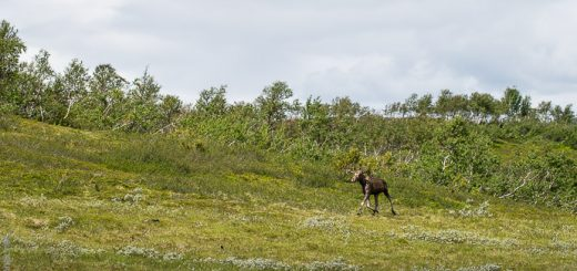 Running moose with a manually focused macro lens