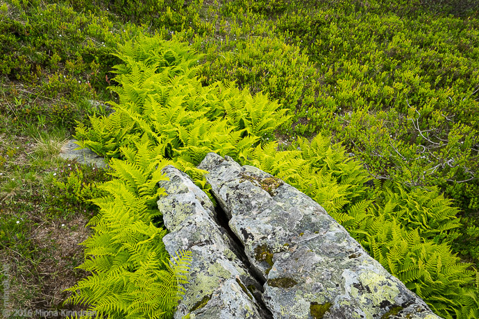 New ferns around an interesting rock, which doesn't look so interesting in 2-D