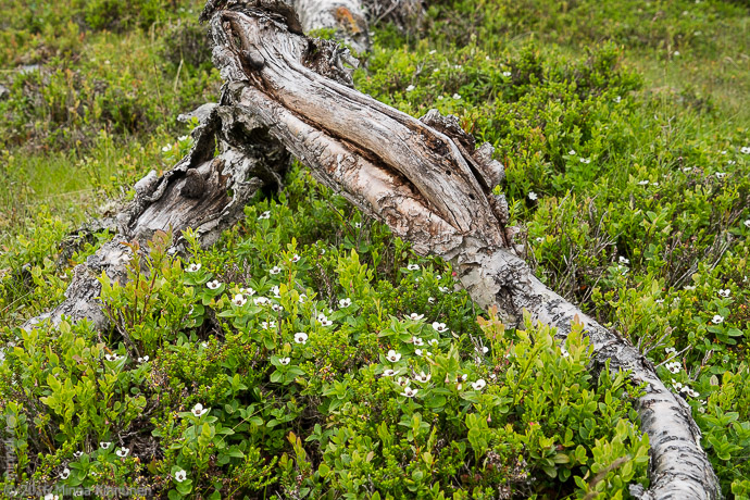 Dwarf cornel and old mountain birch