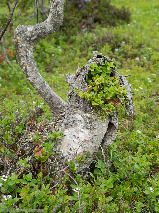 Cowberry growing in a mountain birch stub